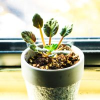 室内花の女王「セントポーリア」初心者でも育てられる小さな愛らしい花