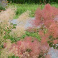 花が雲のように咲くカラーリーフ「スモークツリー」初心者でも育てられる栽培