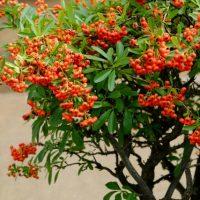 燃えるような真っ赤な実が美しい「ピラカンサ」初心者でも育てられる育て方を解説