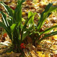 その風格は日本の美「オモト」初心者でも育てられる栽培の仕方