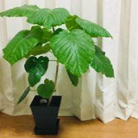 美しい樹形と葉がインテリアにマッチする「ウンベラータ」栽培のコツを伝授!