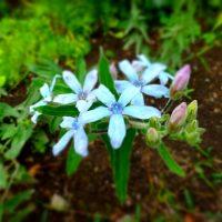 幸せをもたらす青い花!ブルースターの育て方【特徴と栽培管理】