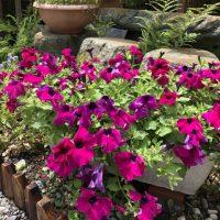 鮮やかな夏の花で寄せ植えを楽しもう!センスの良い色合わせ例も紹介