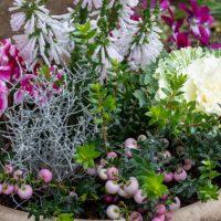 ガーデンシクラメンの寄せ植えに合う植物とは?寄せ植えの作り方や管理方法も解説
