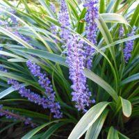 お庭のグランドカバーにぴったりなヤブランの育て方【特徴と増やし方】