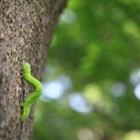 青虫(アオムシ)の駆除・予防方法【被害にあいやすい植物や生態・発生時期も解説】