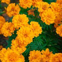 虫除け効果のあるマリーゴールドで寄せ植えを楽しもう!おすすめの植物や作り方を解説