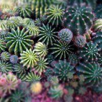 サボテンの寄せ植えをオシャレに作るポイントは?長持ちさせる管理法も紹介!