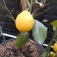 育ててみよう!レモンの木【種類と栽培のポイントを紹介】