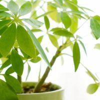 凛とした可憐な姿「カポック」初心者でも育てやすい観葉植物の育て方を紹介