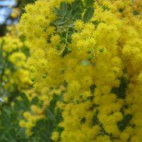 ウキウキする黄色がかわいいミモザ【育て方や飾り方を紹介】