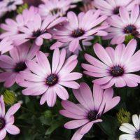 花色のバリエーションが多いエキナセアを育ててみよう!【特徴と栽培管理】