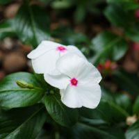 暑い夏に次々と花を咲かせるニチニチソウ【特徴と育て方】