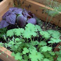 どんな場所でも育てられるハーブの寄せ植えは植物の相性がポイント!